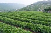 """在传承与创新中升级产业链 崂山茶的""""古法""""与""""新技"""""""