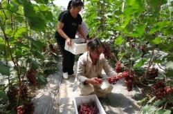 华丰镇:北故城葡萄采摘园迎来丰收季